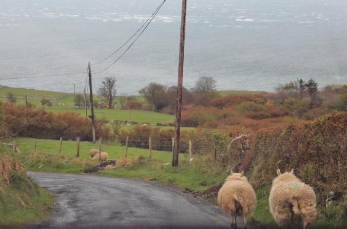 moutons mourlough bay irlande du nord
