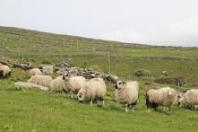moutons Cashel murphy Irlande
