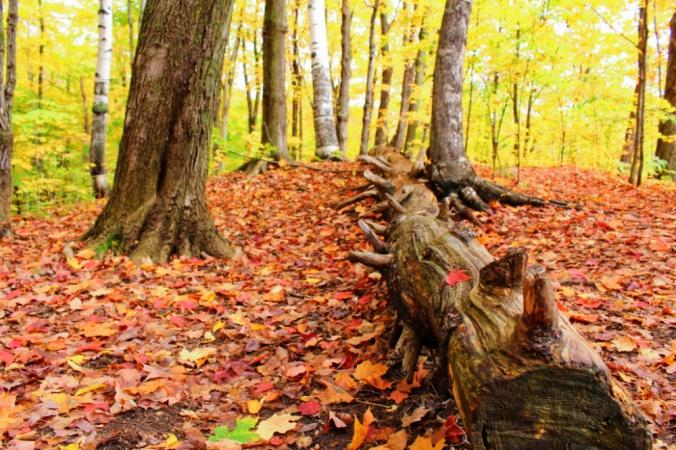 arbres montmorency Québec