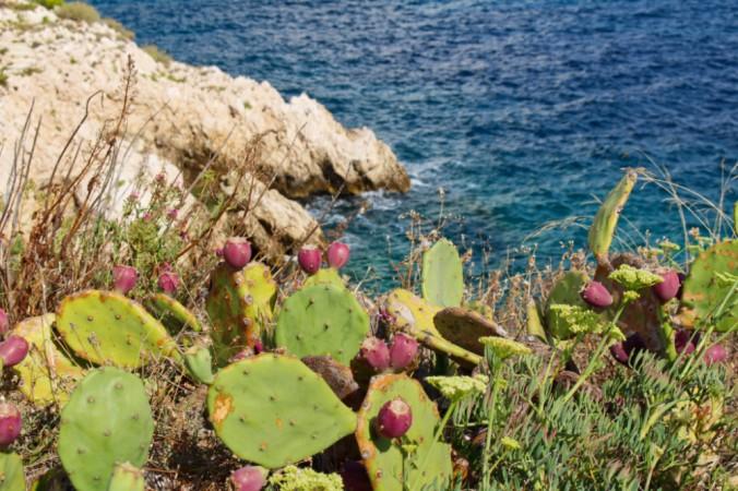 cactus îles du Frioul