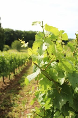 vignes Ampelidae