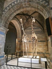 girafe Natural history museum Londres
